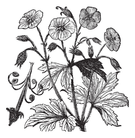 nightcap: Spotted Geranium or Geranium maculatum or Wood Geranium or Wild Geranium or Spotted Cranesbill or Wild Cranesbill or Alum Root or Alum Bloom or Old Maids Nightcap, vintage engraving. Old engraved illustration of Spotted Geranium, isolated on a white back