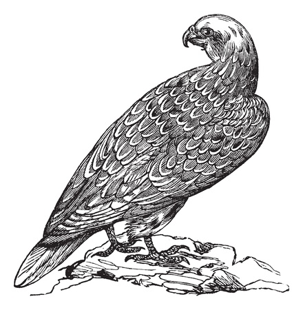 Gyrfalcon or Falco rusticolus or Gerfalcon in Norway, vintage engraving. Old engraved illustration of Gyrfalcon. Stock Vector - 13770459