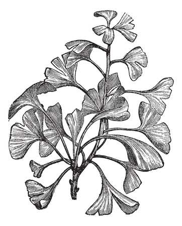 botanical medicine: Ginkgo biloba or Salisburia adiantifolia or Pterophyllus salisburiensis or Ginkgo or Maidenhair Tree, vintage engraving. Old engraved illustration of Ginkgo, isolated on a white background. Illustration
