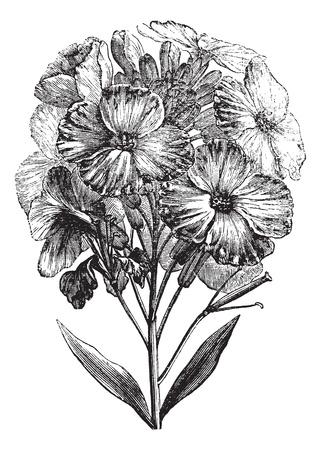 해 꽃무 또는 Erysimum의 cheiri 또는 Cheiranthus의 cheiri, 빈티지 조각. 옛날, 해 꽃무 새겨진 된 그림 흰색 배경에 고립입니다.