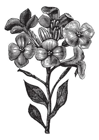 패랭이꽃 또는 회백색 주식 또는 Tenweeks 주식 또는 Matthiola의 incana, 포도 수확, 조각. 오래 된 흰색 배경에 고립, 패랭이꽃의 그림을 새겨 져있다.