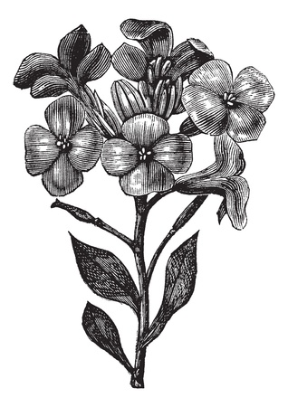 hoary: Gillyflower or Hoary stock or Tenweeks stock or Matthiola incana, vintage engraving. Old engraved illustration of Gillyflower, isolated on a white background.  Illustration