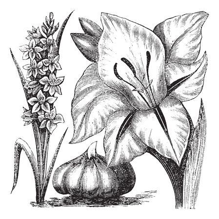 gladiolus: Gladiolus or sword lily, vintage engraving. Old engraved illustration of Gladiolus with Gladiolus communis, isolated on a white background.