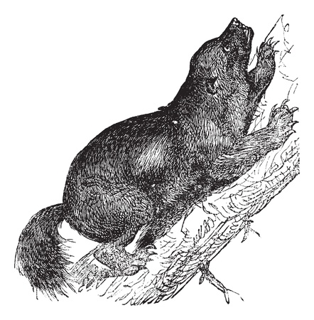 Wolverine or Gulo luscus or Gulo gulo or Carcajou or Glutton or Skunk bear or Quickhatch or Gulon, vintage engraving. Old engraved illustration of Wolverine, climbing on the tree.   Vector