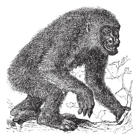 gorila: Gorila, el grabado de la vendimia. Antiguo grabado ilustraci�n de gorila, corriendo en el prado. Vectores
