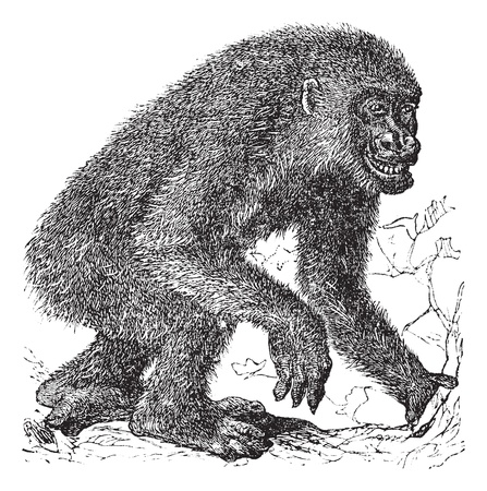 Gorilla, vintage engraving. Old engraved illustration of Gorilla, running in the meadow.