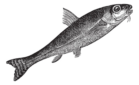 cyprinidae: Gudgeon or Gobio gobio, vintage engraving. Old engraved illustration of Gudgeon, isolated on a white background.