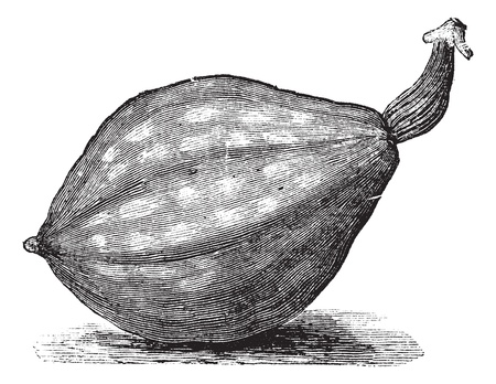 Bottle gourd or Lagenaria siceraria or Lagenaria vulgaris or Calabash or Opo squash or Long melon, vintage engraving. Old engraved illustration of Bottle gourd, isolated on a white background.    Vector