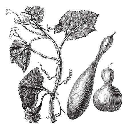 gourds: Calabash or Lagenaria vulgaris or Lagenaria siceraria or Bottle gourd or Opo squash or Long melon, vintage engraving. Old engraved illustration of Calabash, isolated on a white background.