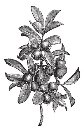 guava fruit: Cattley guava or Psidium littorale or Peruvian guava or Strawberry guava or Psidium cattleianum  or Psidium chinense or Psidium coriaceum  or Psidium humile or Psidium variabile ,vintage engraving. Old engraved illustration of Cattley guava, plant, isolat