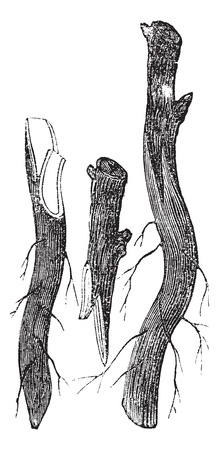 Fig. 3 - Whip grafting  or Tongue grafting on the Collar vintage engraving.Old engraved illustration of propagation by whip grafting.