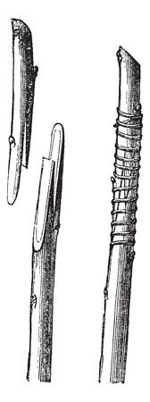 enten: Fig. 2 Engels transplantatie of zweep enten vintage graveren. Oude gegraveerde illustratie van Whip enten, met de tongen voorbereid en na-afdeling met elkaar verbonden. Stock Illustratie