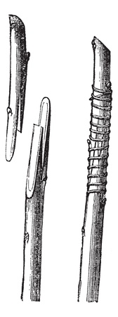 Fig. 2 English transplant or whip grafting vintage engraving. Old engraved illustration of Whip Grafting, showing the tongues prepared and after-ward bound together. 向量圖像