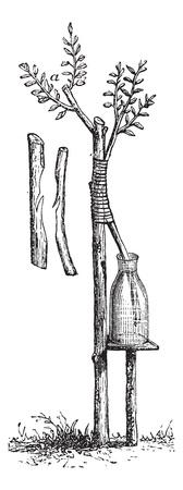 enten: Fig. 5 Aanpak enten of Inarching vintage graveren. Oude gegraveerde illustratie van aanpak enten.