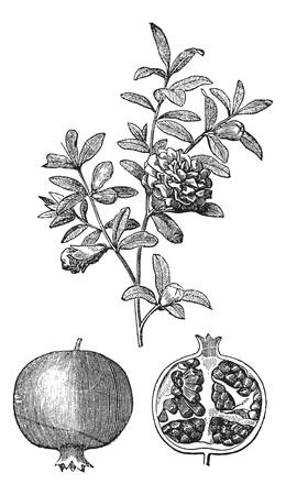 Melograno fiori doppi e vintage incisione di frutta. Old illustrazione incisa di melograno fiori doppi e frutta del melograno con fiore singolo.