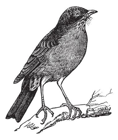 レトロ: アメリカのロビン (つぐみ migratorius) ヴィンテージ彫刻。アメリカのロビンの刻まれた図は古い木の枝に腰掛け