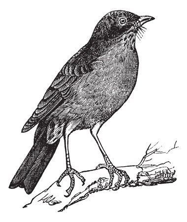 thrush: American Robin (Turdus migratorius) vintage engraving. Old engraved illustration of American robin perched on tree branch Illustration