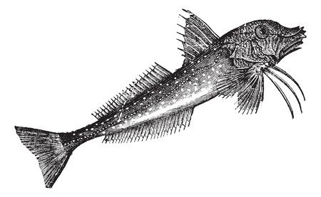 grey: Gray Gurnard (Trigla gurnardus) or Sea robin vintage engraving. Old engraved illustration of grey gurnard. Illustration