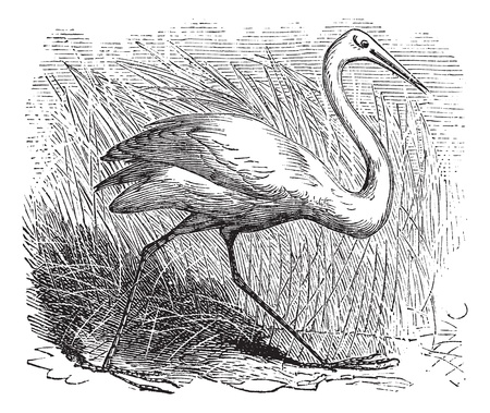 whooping: Whooping cranes (Grus Americana) vintage engraving.Old engraved illustration of a beautiful north american whooping crane.