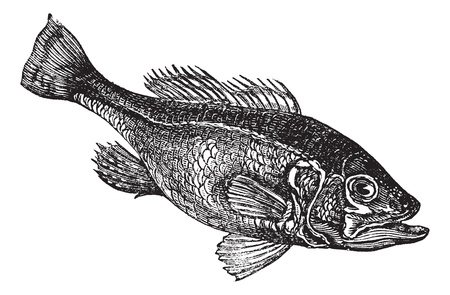 bass: Largemouth bass (Micropterus salmoides) or widemouth bass or bigmouth or black bass or bucketmouth vintage engraving. Old engraved illustration of freshwater largemouth bass fish.