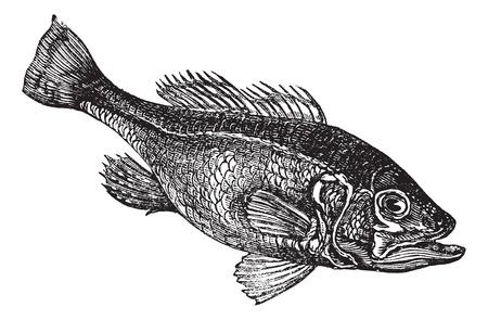 largemouth bass: Lobina negra (Micropterus salmoides) o de boca ancha bajo o boc�n o negro bajo o grabado bucketmouth de la vendimia. Ilustraci�n del Antiguo grabado de agua dulce bocazas pescados bajos. Vectores