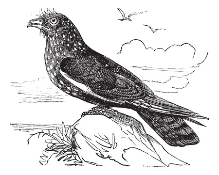 nocturnal: Guacharo Caripe (Steatornis caripensis) or Oilbird vintage engraving. Old engraved illustration of Guacharo, a nocturnal fruit eating bird.
