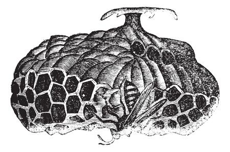 Paper wasp (Vespa nidulans) or umbrella wasp vintage engraving. Old engraved illustration of paper wasp on nest.