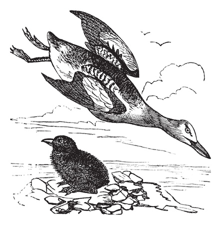 plumage: Guillemot and young (winter plumage) vintage engraving. Old engraved illustration of guillemot and young Illustration
