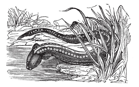 a freshwater fish: Gymnotus electricus or Electric eel (Electrophorus electricus) vintage engraving. Old engraved illustration of electric eel.