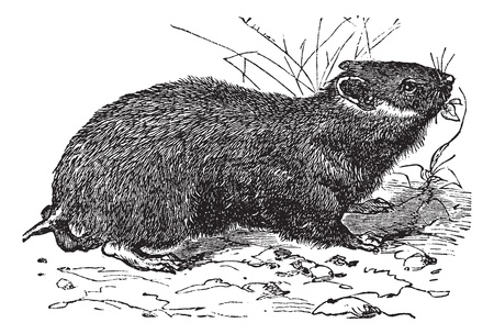 Hamster (cricetus vulgaris) vintage engraving. Old engraved illustration of little hamster. Illustration