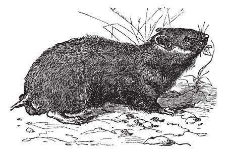 gnawer: Hamster (cricetus vulgaris) vintage engraving. Old engraved illustration of little hamster. Illustration