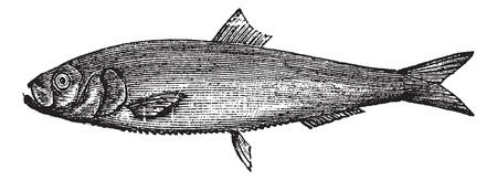 herring: White herring vintage engraving. Old engraved illustration of salted white herring.