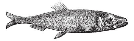 иллюстрация: Атлантическая сельдь Европы (Clupea кагепдиз) старинные гравюры. Старый выгравированы иллюстрация соленой атлантической сельди. Иллюстрация