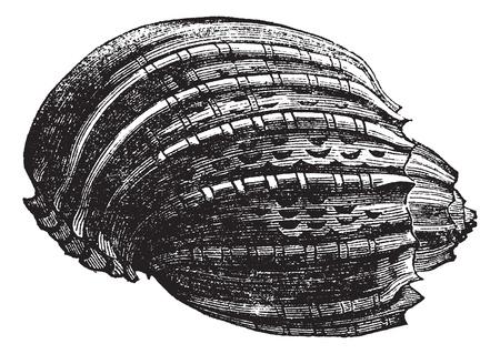 mollusc: Harp (harp ventriculata) vintage engraving. Old engraved illustration of the harp shell.