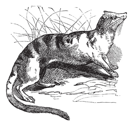 civet cat: Banded Palm Civet (Hemigalus derbyanus) vintage engraving. Old engraved illustration of Banded Palm Civet. Illustration