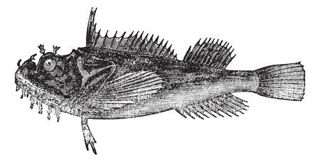 Common sea raven (Hemitripterus acadianus) vintage engraving. Sea raven isolated on white. Stock Vector - 13770735