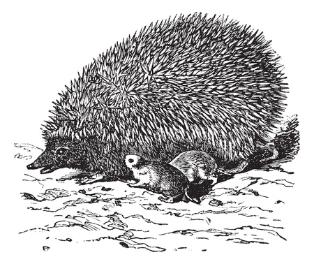 The European Hedgehog (Erinaceus europaeus) or Common hedgehog or Hedgehog vintage engraving. Old engraved illustration of cute European Hedgehog.