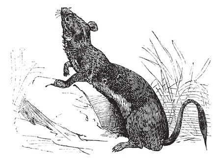 Stoat (Mustela erminea) or Ermine or short-tailed weasel in summer pelt vintage engraving. Old engraved illustration of Ermine in summer pelt. Stock Vector - 13770601