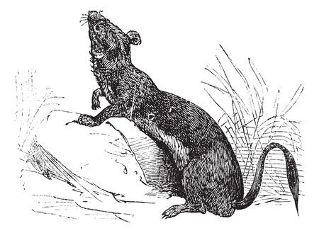 stoat: Stoat (Mustela erminea) or Ermine or short-tailed weasel in summer pelt vintage engraving. Old engraved illustration of Ermine in summer pelt.