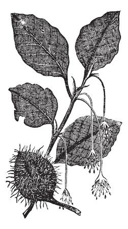 haya: Las hojas, flores y frutos de la cosecha haya grabado. Ilustraci�n del Antiguo grabado de hojas, flores y frutos del �rbol de la haya.