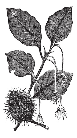 beech: Leaves, flowers and fruit of the beech vintage engraving. Old engraved illustration of Leaves, flowers and fruit of the beech tree.