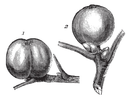hickory nuts: 1-White hickory nut or fruit 2- Tomentose hickory nut or fruit vintage engraving. Old engraved illustration of 1-White hickory nut or fruit 2- Tomentose hickory nut or fruit. Illustration