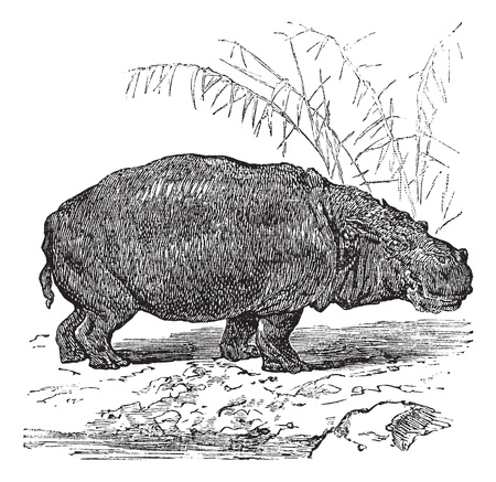 Hippopotamus or Hippopotamus amphibius or Hippo or Hippopotami, vintage engraving. Old engraved illustration of Hippopotamus, close to the water. Stock Vector - 13771663
