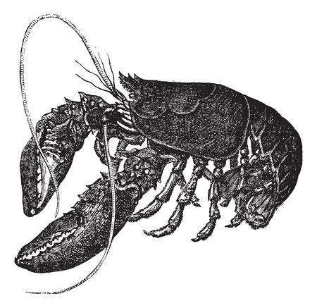 lobster: 일반 랍스터 또는 Homarus의 gammarus 또는 유럽 새우, 포도 수확, 조각. 오래 된 흰색 배경에 고립, 일반 새우의 그림을 새겨 져있다.