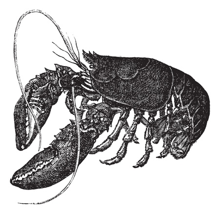 Common lobster or Homarus gammarus or European lobster, vintage engraving. Old engraved illustration of Common lobster, isolated on a white background.    Illustration