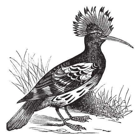 Hoopoe or Upupa epops, vintage engraving. Old engraved illustration of Hoopoe in the meadow.