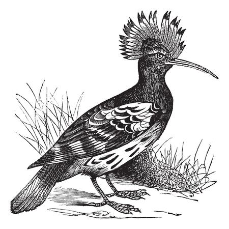 monogamous: Hoopoe or Upupa epops, vintage engraving. Old engraved illustration of Hoopoe in the meadow.