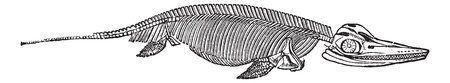 paleontology: The skeleton of Ichthyosaurus, vintage engraving. Old engraved illustration of Ichthyosaurus skeleton isolated on a white background.