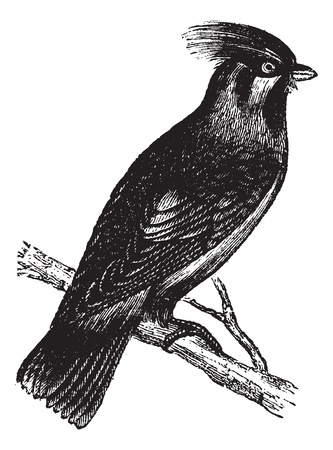 insectivorous: Bohemian Waxwing or Bombycilla garrulus,vintage engraving. Old engraved illustration of Bohemian Waxwing waiting on a branch. Illustration