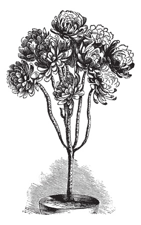 saxifragales: Tree Aeonium or Aeonium arboreum or Aeonium schwarzkopf or Aeonium korneliuslemsii or Sempervivum arboreum, vintage engraving. Old engraved illustration of Tree Aeonium in the flowerpot.